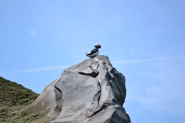 Ein Papageitaucher vor blauem Himmel im Isländischen Themenbereich.
